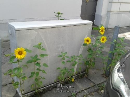 Sonnenblumen_Wegesrand