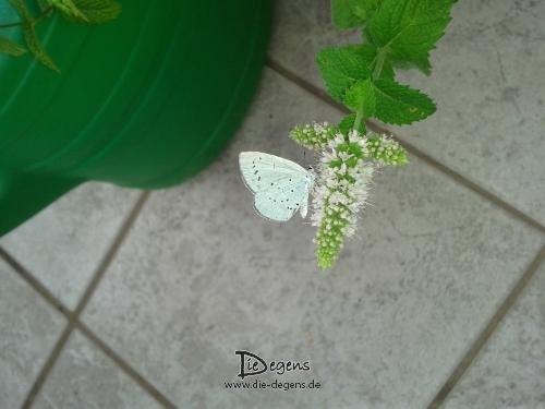 Schmetterling_Balkon
