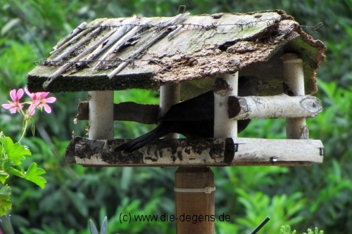 img_4948_amsel_wildetiere