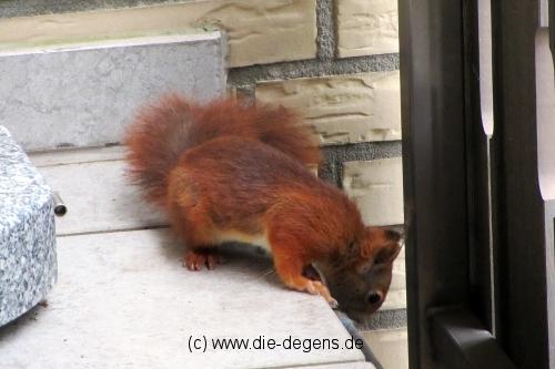 img_4993_eichhoernchen9_wildetiere