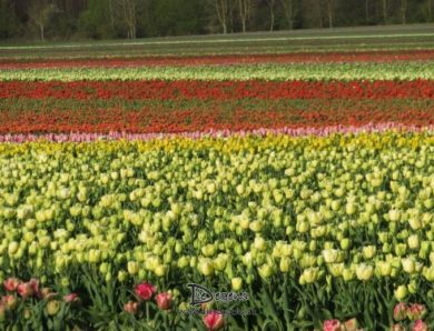 Tulpen so weit das Auge reicht.